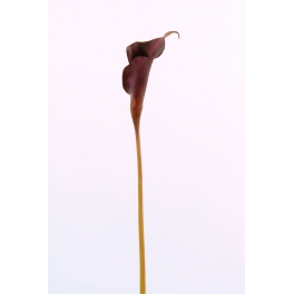 Fleur Arum violine